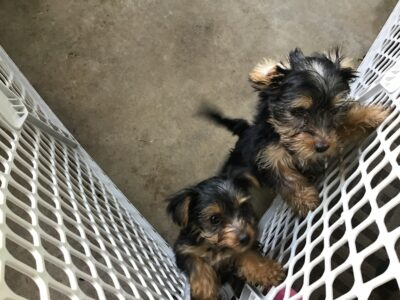Yorky puppies for sale