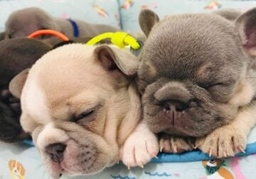 Adorable french bulldog puppy at affordable price