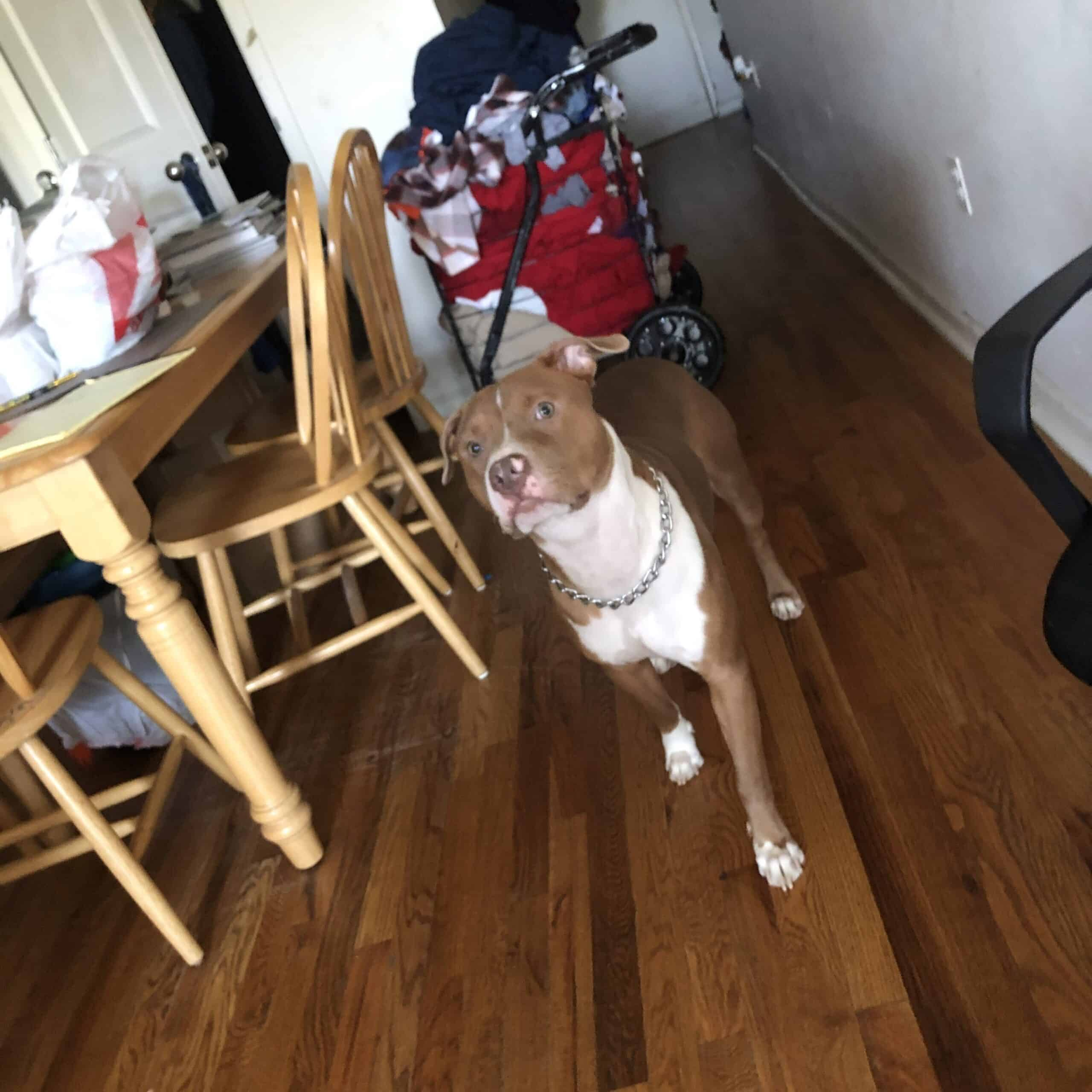 1 year old pit bull terrier