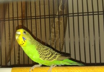 Selling Budgie And Cage