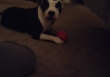 Male pitbull full bred 2 years old
