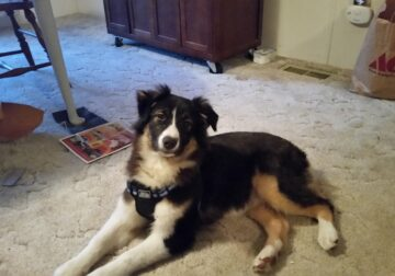 Beautiful 8 month old Australian Shepherd