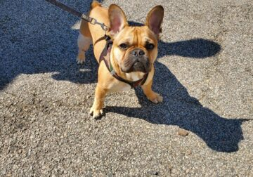 10 Month Old French Bulldog