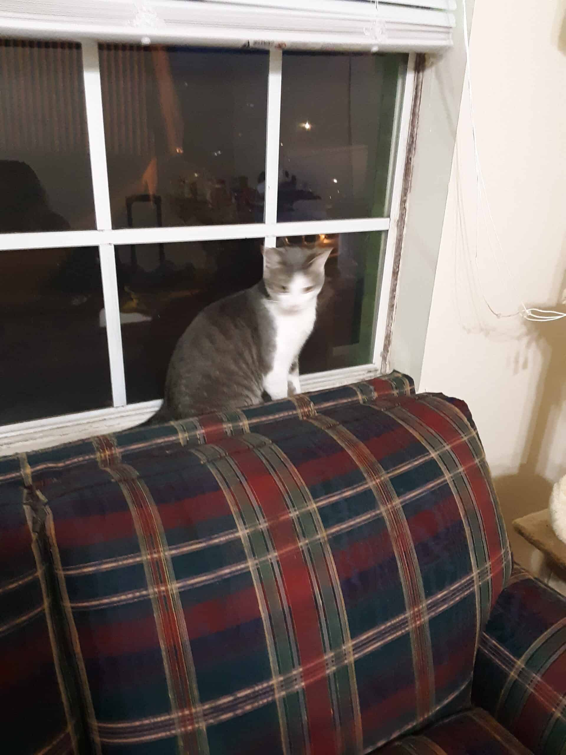 American Bobtail mix for Sale