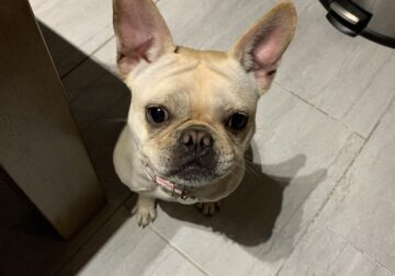 Sweet French Bulldog /Pug mix for sale