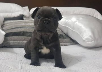cute french bull dog puppy available for re-homing