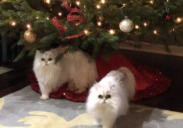 Doll Face Teacup Persians
