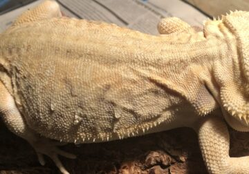 YELLOW CITRUS LEATHERBACK BEARDED DRAGON
