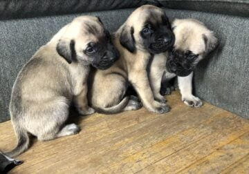English Mastiff Puppies