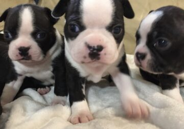Boston Terrier Pups