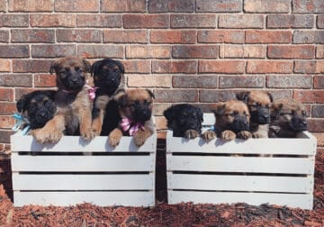 German Shepherd/Golden Retriever puppies