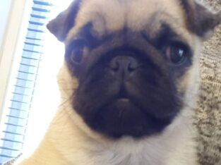 7 months old female fawn pug pup