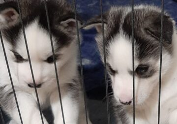 blue eyes husky puppies for rehoming