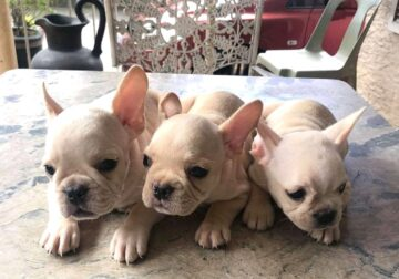 French bull dog available