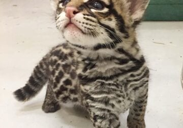 Ocelot, caracal, savannah and serval cat for sale