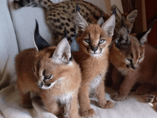 Savannah, serval and caracal available for sale