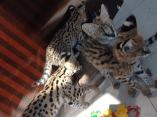 Serval, caracal and savannah kitten for sale