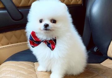 Quality Teacup Pomeranian puppies For Sale