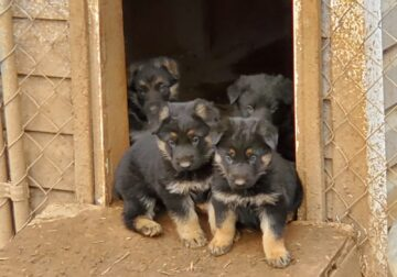 German Shepherd Puppies 8 weeks old .