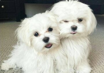 Maltese puppies at great prices