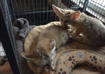 Love male and female fennec fox for adoption