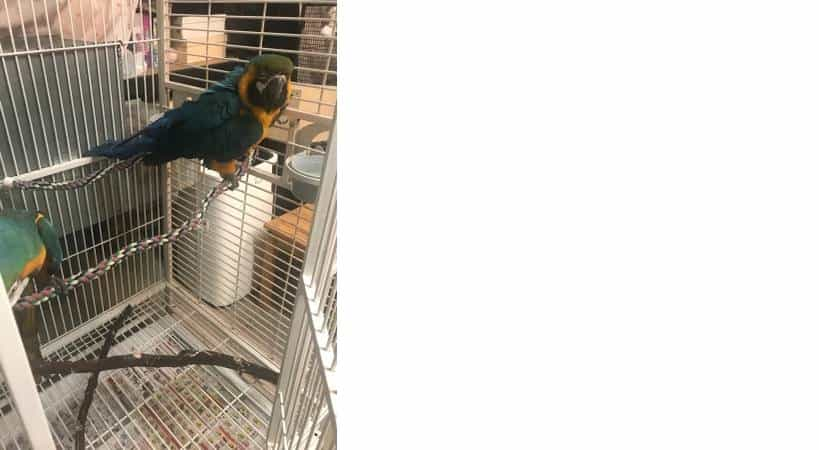 Special male and female Blue and gold macaw Birds