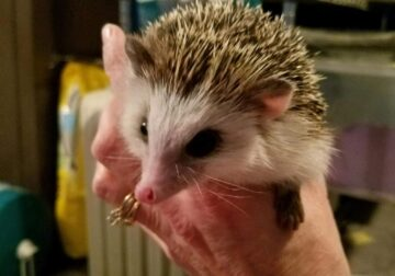 Hedgehog for Good Home