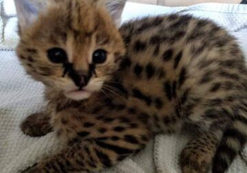 Caracal, serval and savannah kitten for sale