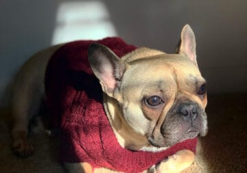 French Bulldog Adult For Sale $2,500