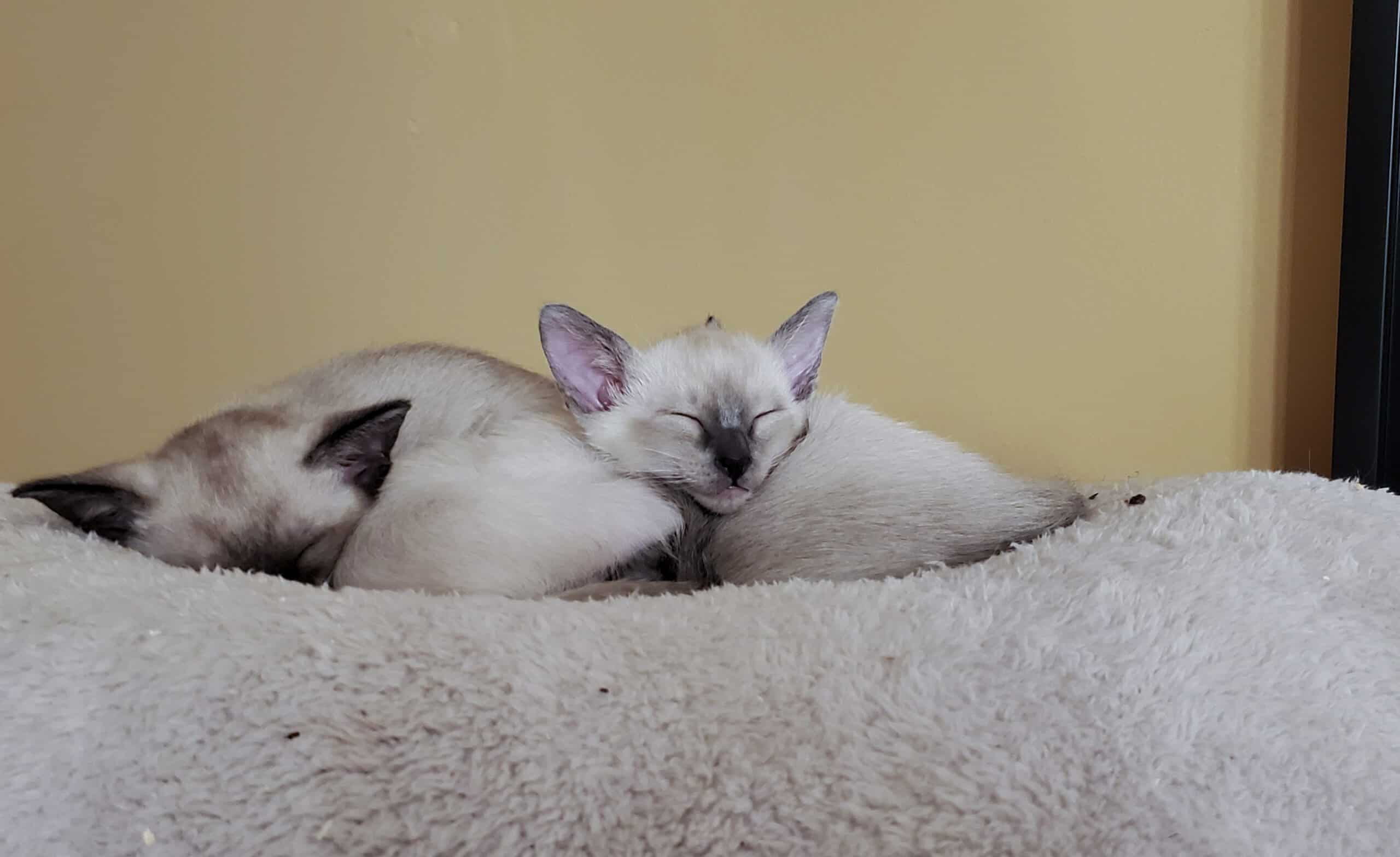 Siamese Kittens Blue Point and Seal Point!
