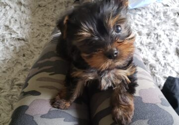 2 month old Yorkie