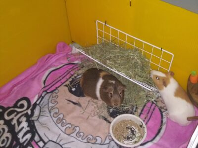 Guinea Pigs Free to good home! Everything included
