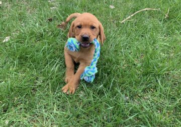 Red fox lab puppy rehoming