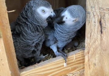 Proven Pair of Congo African Greys