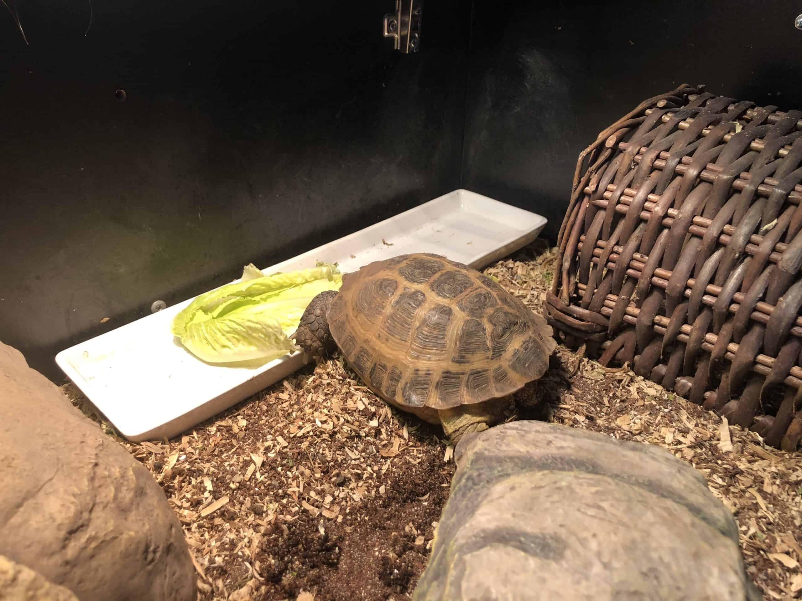 Adult Female Russian Tortoise And Large Habitat Petclassifieds Com