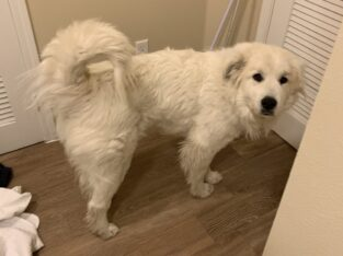 Great Pyrenees (Adult Female)