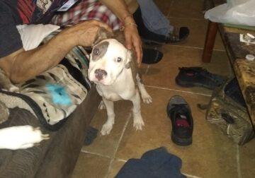 Pit bull puppies for sale $300