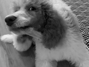 Sweet Male Poodle Puppy- All Supplies Included