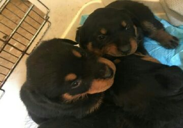 German Rottweiler puppies for sale – $900