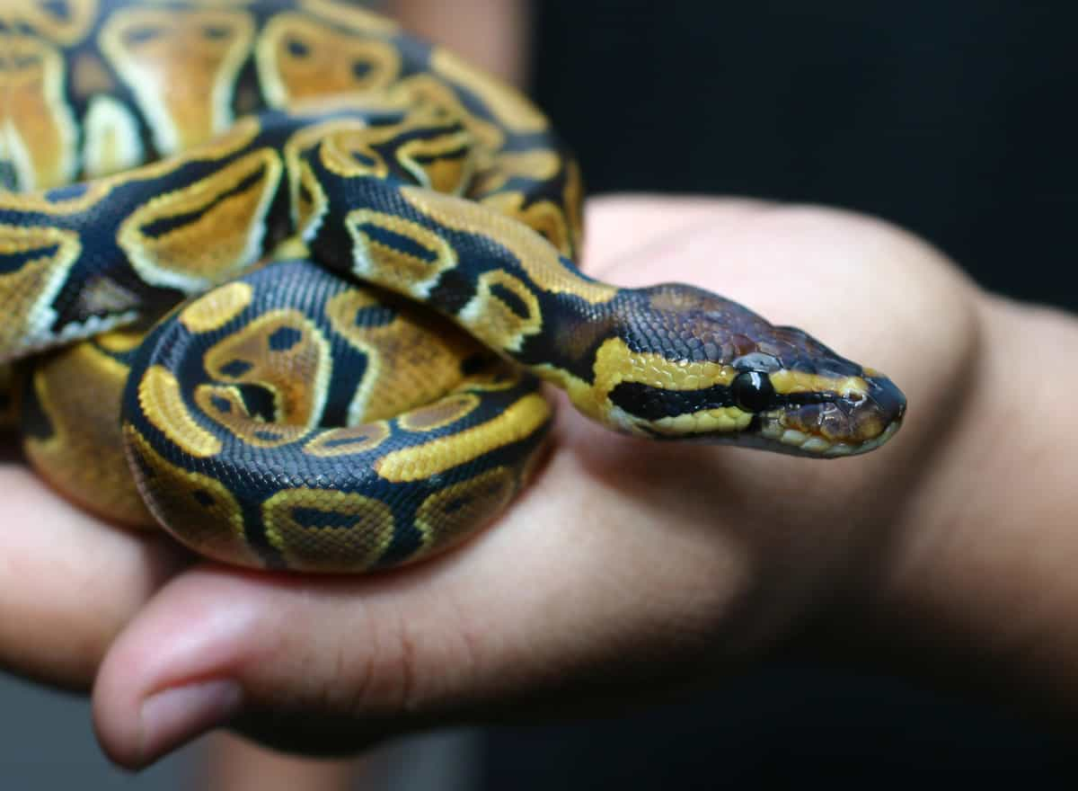 Things-to-know-about-pet-snakes