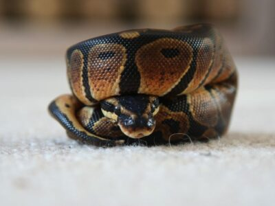 REHOME YOUR BALL PYTHON TO US