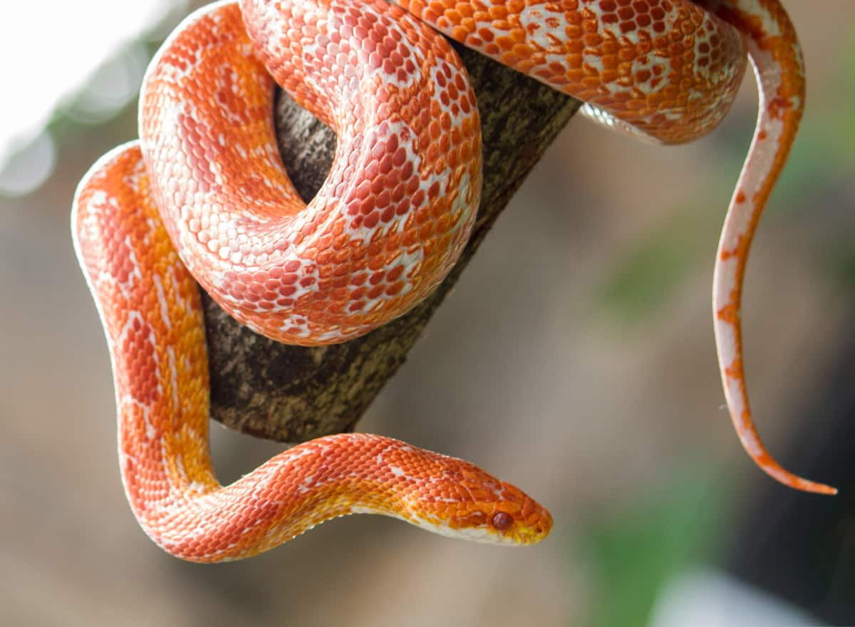 Corn snake best pet snakes for beginners