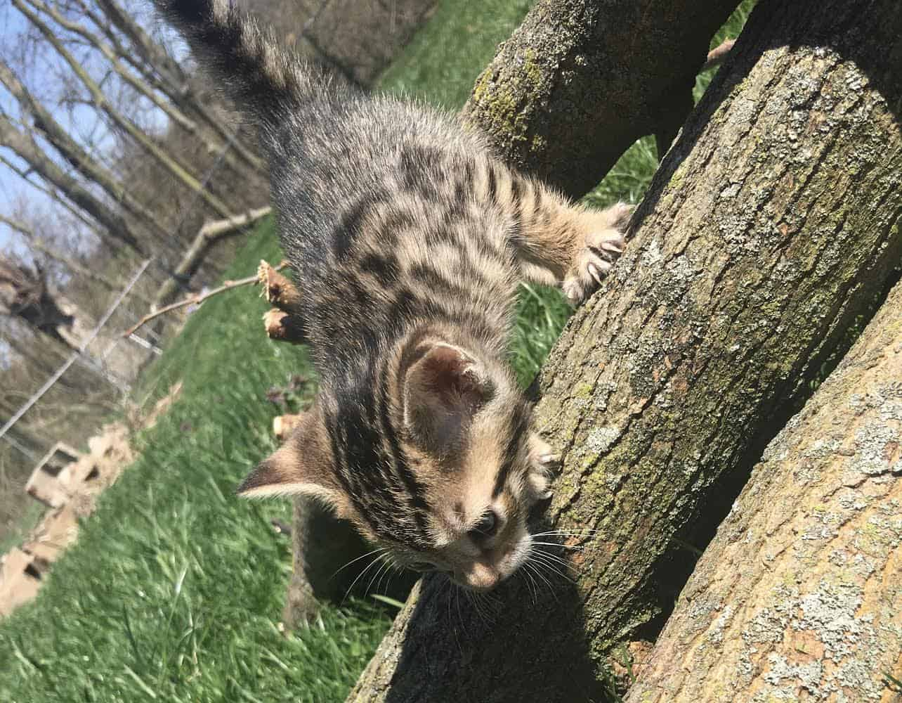 Bengal Cubs! In need of loving family! ONE LEFT!