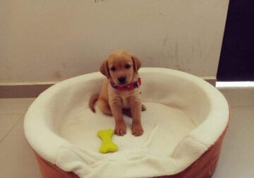 Golden retriever puppies ready to goodhomes