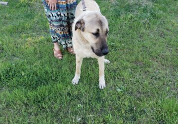 Beautiful Anatolian Shepherd