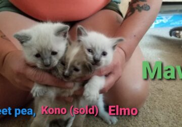 Ragdoll kittens and ragdoll/ siamese mixes!