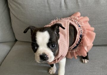 MINI FEMALE BOSTON TERRIER