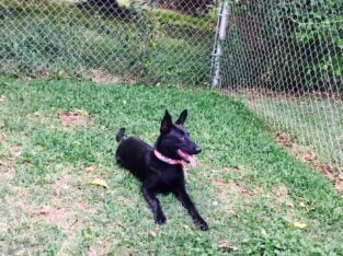 Dutch Shepherd needs good home
