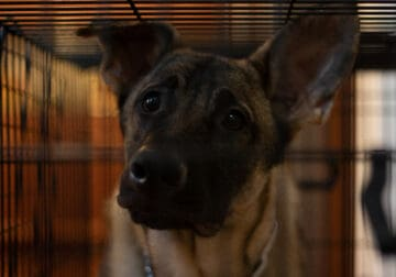 Purebred German Shepard For Sale (2 years old)
