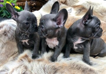 Beautiful Blue Frenchies